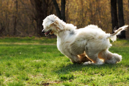 frolicking: beautiful shaggy dog breed Afghan in the summer frolicking on the grass, running and jumping in the evening sun