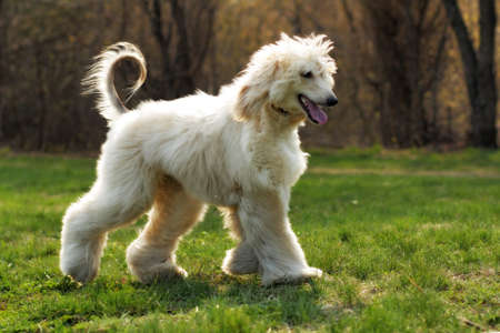beautiful shaggy dog breed Afghan in the summer frolicking on the grass, running and jumping in the evening sun