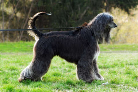 furred: beautiful dog breed Afghan is on the leash in a full-length show positions in the summer and pulls it Stock Photo