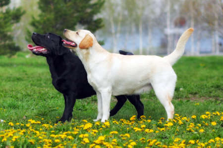 doggy position: two purebred dogs Labrador Retriever standing in the show position in the summer on a glade with dandelions