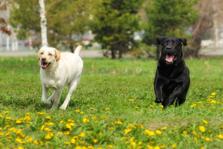 rapidity: two dogs Labrador retrievers white yellow and black fun run and play outdoors in summer