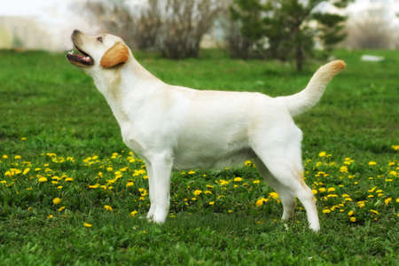 doggy position: good family dog, the Labrador Retriever stands in summer on the grass with dandelions in the show position, fawn coloured Stock Photo