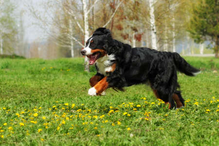 happy Beautiful Bernese mountain dog runs are fun in the summer outdoors Stock Photo