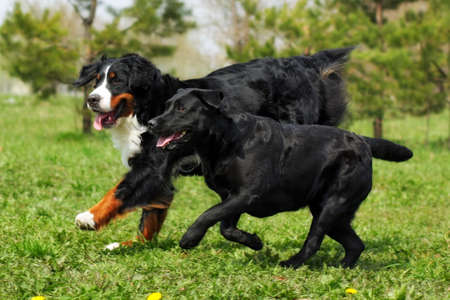 two large, good family dog - the Labrador Retriever and the Bernese mountain dog having fun running and playing Stock Photo