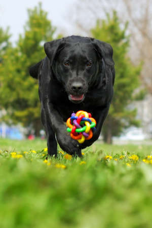 large black family dog, the Labrador Retriever having fun playing ball, running right at the camera