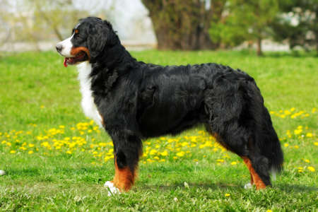 full height: purebred dog Bernese mountain dog standing in show position in the summer outdoors, side view at full height Stock Photo