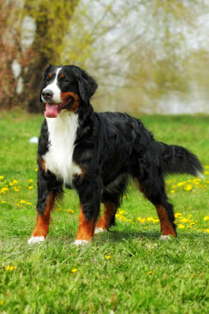 happy family Bernese mountain dog on summer nature walks, stands on the grass, front view full height