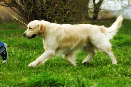 trot: family dog Golden Retriever runs trot a man on a leash, is training in the summer
