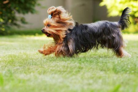 散歩に果たしている小さな装飾的な家族の犬ヨークシャー テリアの夏には、芝生の上を実行しています。