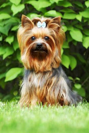Beautiful little decorative dog Yorkshire Terrier, portrait, summer, outdoors, Stock Photo
