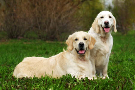 two family dogs, a couple of Golden Retriever resting on grass in the summer, female and male
