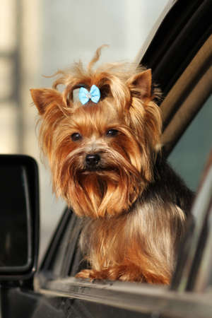glistening: cute decorative dog Yorkshire Terrier looks out the window of the car, glistening in the sun.