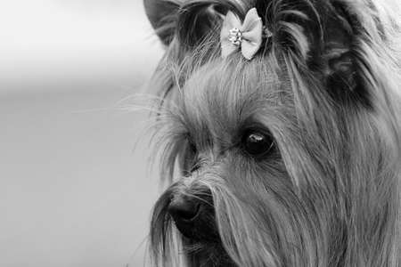 Decorative dog Yorkshire Terrier face closeup sad look, black-and-white photo Stock Photo