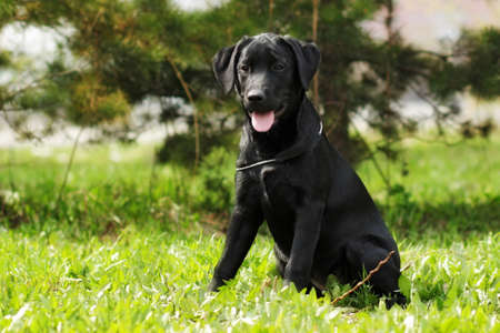 cute black Labrador puppy sitting on the grass in summer in Park