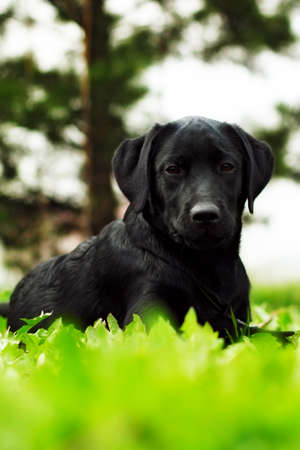 lies: cute black dog puppy Labrador lies in the summer outdoors on the grass and seriously looking Stock Photo