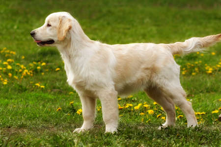 companions: perfect exhibition stand is a puppy Golden Retriever. The dog is standing in show position in the summer on the grass