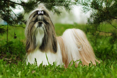 Beautiful decorative dog breed the Shih Tzu is in the summer outside in full growth. A glamorous companion for girls and family Stock Photo