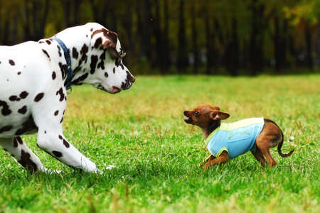 Small dog toy Terrier in clothes bares his teeth at a large Dalmatian summer in the Park for a walk. Game dogs