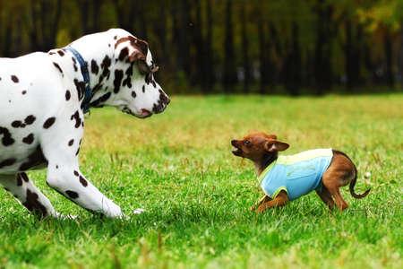 obey: Terrier de juguete pequeño perro en la ropa muestra los dientes en un gran verano dálmata, en el parque a dar un paseo. perros de caza Foto de archivo