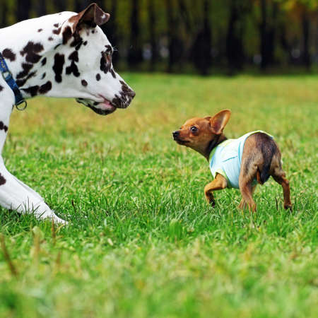 Small dog toy Terrier likes to play with her Dalmatian summer in the Park, scared fear expresses obedience