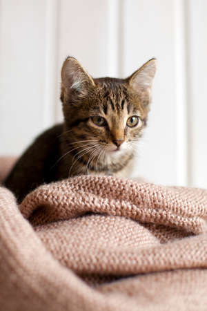 defenseless: Cute gray striped kitten sitting in a cozy knitted blanket in bright white room. A small defenseless pet cat