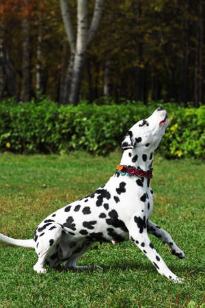 engaged: Spotted dog Dalmatian walks with the Park, engaged in training, executes the command to sit and vote. Barks