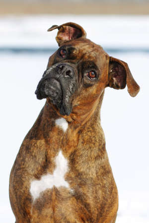 brindle: Dog brindle boxer in collar winter white background, listening intently in the training, closeup portrait
