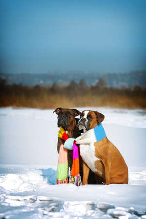 two dogs of breed boxer sitting in the winter on snow, associated with one scarf in bright stripes. The concept of romance and love. Stock Photo