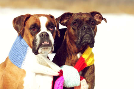 associated: two dogs of breed boxer sitting in the winter on snow, associated with one scarf in bright stripes. The concept of romance and love. Stock Photo