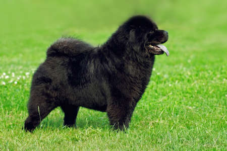 beautiful rare: beautiful dog breed Chow Chow rare black color is to show the position in the summer on the grass. Champion exhibitions