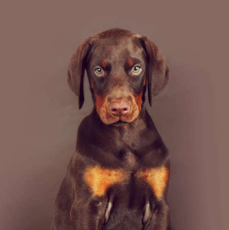 brown dobermann: Beautiful brown Doberman puppy sitting on brown background in the Studio, carefully and seriously looking at you. The best dog for the protection of the family Stock Photo