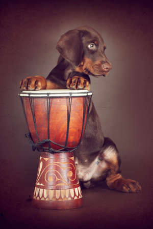 Beautiful brown Doberman puppy plays the drums in the Studio. The best dog for the protection of the family  Stock Photo