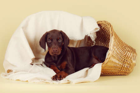 Beautiful purebred brown Doberman puppy is lying on a beige background with a basket and fabrics Stock Photo