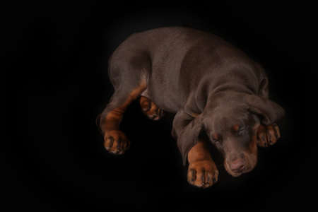 sweetly: Little brown Doberman puppy sleeping sweetly on a black background, his head