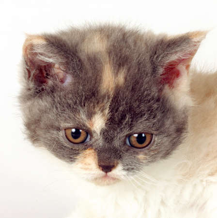defenseless: Kitten of breed Selkirk Rex tricolor color white background in the Studio cute pet for family and children, head closeup Stock Photo