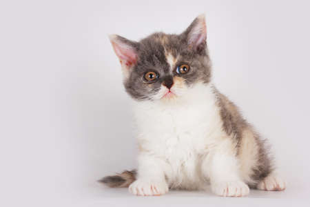 defenseless: Cute kitten breed Selkirk Rex cat sitting on a light gray background in Studio and looking in amazement and curiosity Stock Photo