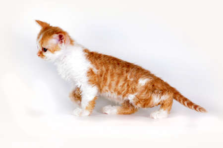 Kitten of breed Selkirk Rex red-white color on a light gray background in the Studio cute pet for family and children, cat goes marching side view Stock Photo