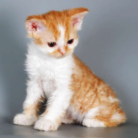 Kitten of breed Selkirk Rex red-white color on gray background in the Studio cute pet for family and children
