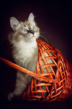 Cute young kitten of breed Neva masquerade looks out from the basket, the cat is having fun playing hide and seek