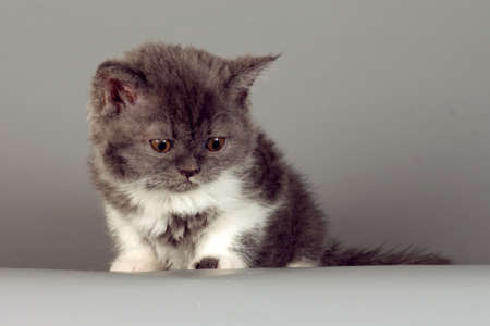 defenseless: Kitten of breed Selkirk Rex grey-white color on gray background in the Studio cute pet for family and children