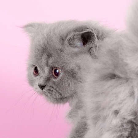 Cute kitten breed Selkirk Rex gray color on pink background in Studio, great pet for family