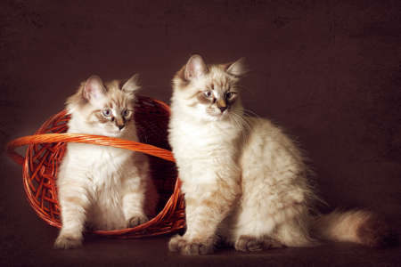 Two cute kitten Neva masquerade sitting in the basket, peeking out fun to play. A good cat for a family, a best friend