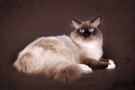 beautiful cat breed Neva masquerade on a brown background in the Studio, a good pet for the family,
