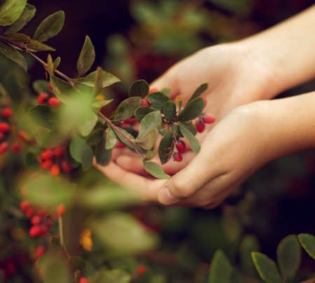 The berries of barberry in childrens hands. The care of plants. Child gardening Stock Photo