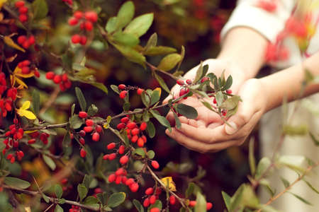 The berries of barberry in children's hands. The care of plants. Child gardening