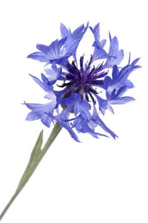 object on white - flowers blue cornflower close up