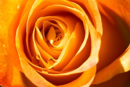 object on white - orange rose close up Stock Photo - 10300456