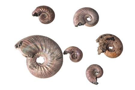 ammonite shell isolated on white background