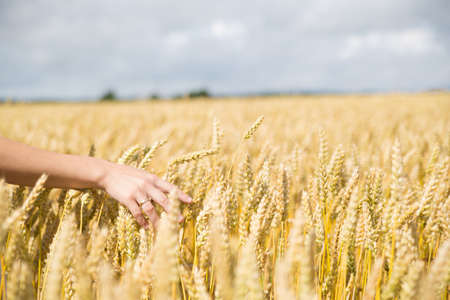wheat: Womans arm in yellow wheat field in summer. Stock Photo