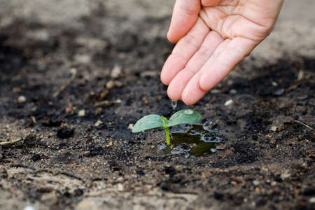 woman's hand: Womans hand watering the soil of young plant.